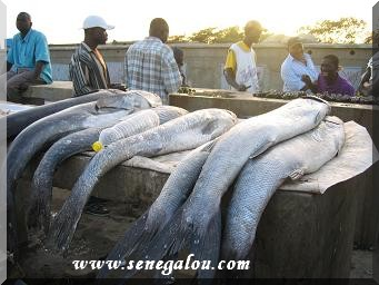 poisson-senegal.JPG
